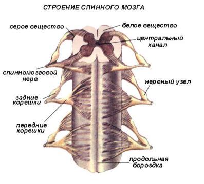 Анатомия-Нервная система.