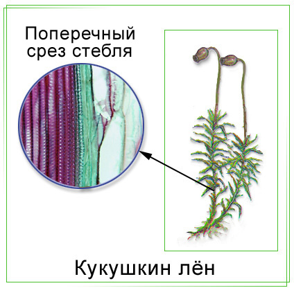 Строение стебля кукушкиного льна.