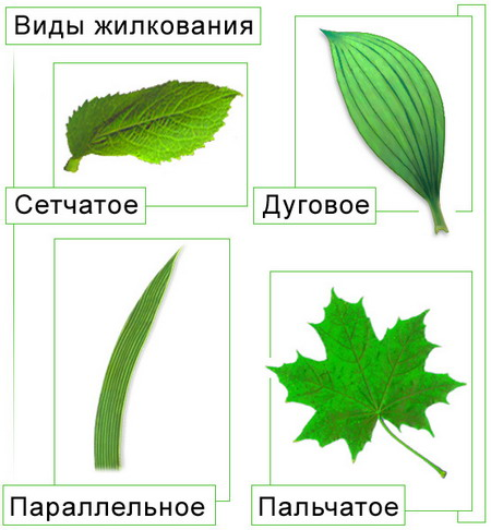 Биология органы растений