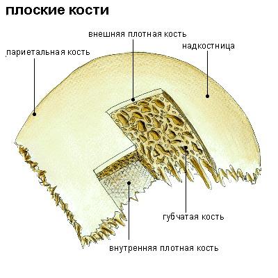 плоская кость человека