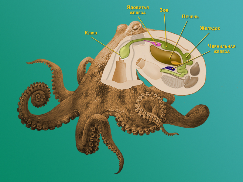 octopus system essay A study of octopus behavior purpose the purpose of this study is to investigate behavior in the common octopus hypothesis the octopus will be more active during.