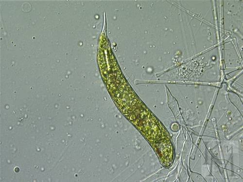 an analysis of the phototaxis in euglena gracilis a microorganism